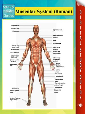 cover image of Muscular System (Human)