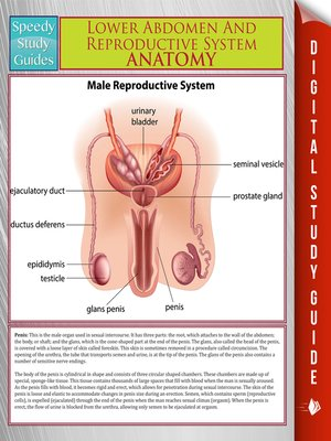 Lower Abdomen And Reproductive System Anatomy By Speedy Publishing